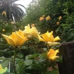 谷津の薔薇園