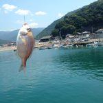 宇久須の堤防釣り、鯛の放流サイズ、金目鯛